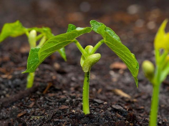 Особенности выращивания фасоли